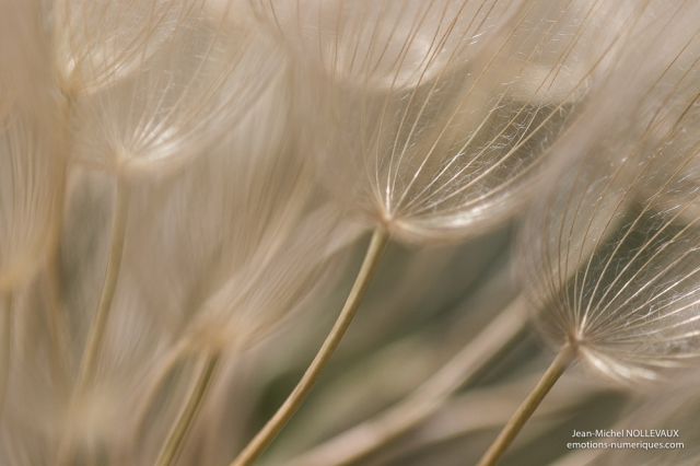 Graines de salsifis