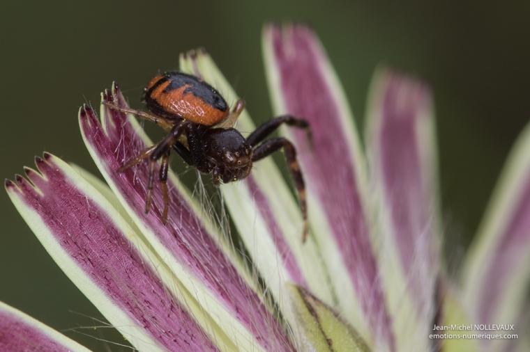 Synema globosum (Thomisidae)
