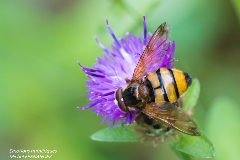 s-02 Volucella inanis