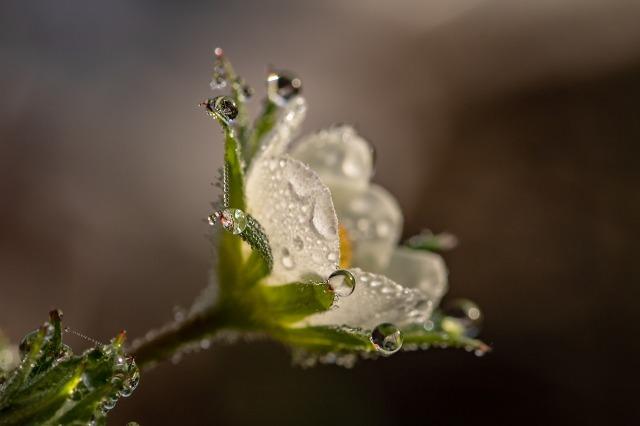 fleur-de-fraisier.jpg