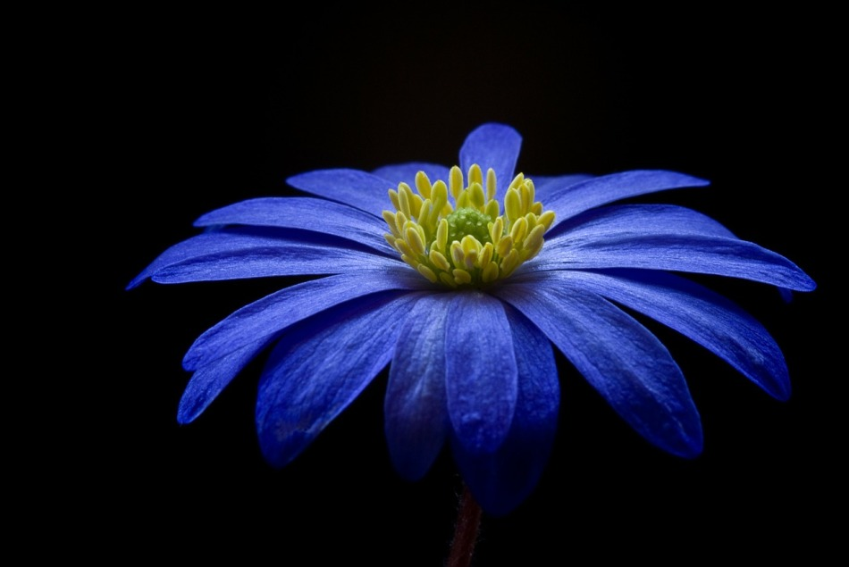 anemone-fond-noir.jpg