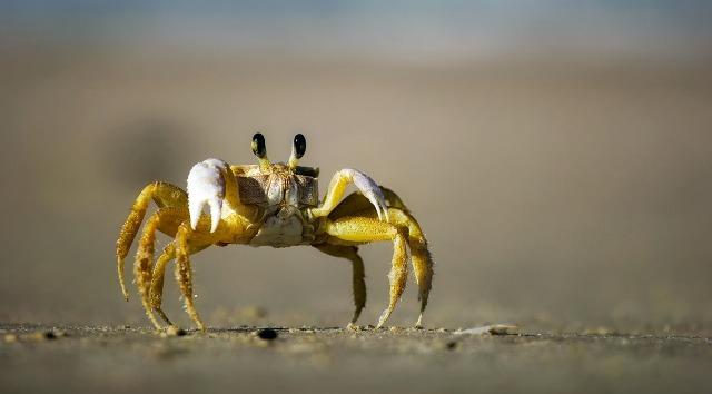 crabe-de-sable.jpg